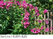 Купить «Флоксы (Phlox) сиреневые в саду», эксклюзивное фото № 4891820, снято 24 июля 2013 г. (c) Елена Коромыслова / Фотобанк Лори