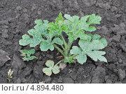 Купить «Молодое растение арбуза», фото № 4894480, снято 25 июля 2013 г. (c) Сычёва Татьяна / Фотобанк Лори