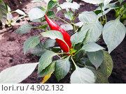 Красный перец. Стоковое фото, фотограф Сергей Хрушков / Фотобанк Лори