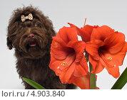 Купить «Цветная болонка и гиппеаструм», фото № 4903840, снято 9 марта 2013 г. (c) Vladimir Suponev / Фотобанк Лори