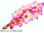 Купить «Розовый гладиолус», фото № 4905236, снято 21 июля 2013 г. (c) Елена Силкова / Фотобанк Лори
