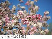 Цветущая яблоня. Стоковое фото, фотограф Аркадий Шаповал / Фотобанк Лори
