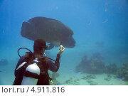 Аквалангист приманивает самца Рыбы-Наполеона (Cheilinus undulatus) (2013 год). Редакционное фото, фотограф Роман Прохоров / Фотобанк Лори