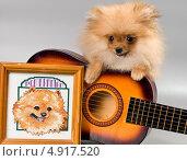 Купить «Померанский шпиц с гитарой», фото № 4917520, снято 29 июля 2013 г. (c) Vladimir Suponev / Фотобанк Лори
