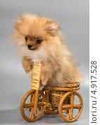 Купить «Миниатюрный Шпиц на игрушечном велосипеде», фото № 4917528, снято 29 июля 2013 г. (c) Vladimir Suponev / Фотобанк Лори