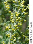 Купить «Полынь лечебная, или Полынь высокая, или Полынь лимонная (Artemisia abrotanum)», эксклюзивное фото № 4917736, снято 24 июля 2013 г. (c) Елена Коромыслова / Фотобанк Лори