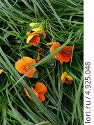 Цветы оранжевых фиалок в зеленой траве. Стоковое фото, фотограф Наталья Романова / Фотобанк Лори