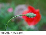 Нераспустившийся бутон мака. Стоковое фото, фотограф Irina Kolokolnikova / Фотобанк Лори