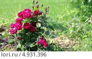 Купить «Куст красных роз, растущий на газоне в саду», видеоролик № 4931396, снято 6 августа 2013 г. (c) Кекяляйнен Андрей / Фотобанк Лори