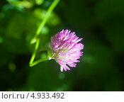 Купить «Цветок клевера», фото № 4933492, снято 21 июня 2013 г. (c) Зобков Георгий / Фотобанк Лори