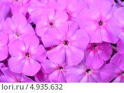 Розовый флокс крупным планом. Стоковое фото, фотограф Артём Вакарин / Фотобанк Лори