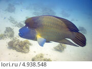 Рыба Наполеон (Cheilinus undulatus) крупный самец. Стоковое фото, фотограф Роман Прохоров / Фотобанк Лори