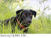 Купить «Чёрная собака в траве», эксклюзивное фото № 4941116, снято 10 августа 2013 г. (c) Вероника / Фотобанк Лори