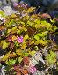 Цветы поляники или княженики - малины арктической (лат. Rubus arcticus L.) на камнях у Байкала, фото № 4942272, снято 20 июля 2013 г. (c) Виктория Катьянова / Фотобанк Лори