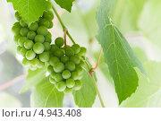 Купить «Гроздья зелёного винограда висит на ветке», фото № 4943408, снято 2 июля 2013 г. (c) EugeneSergeev / Фотобанк Лори