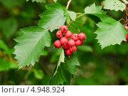 Купить «Ягоды боярышника», эксклюзивное фото № 4948924, снято 1 сентября 2012 г. (c) Алёшина Оксана / Фотобанк Лори