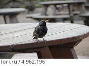 Скворец сидит на деревянном столе. Стоковое фото, фотограф Elena Ritschard / Фотобанк Лори
