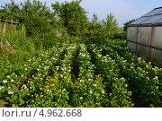 Картофельное поле. Стоковое фото, фотограф Роман Негруца / Фотобанк Лори