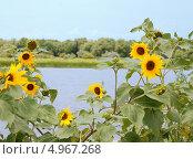 Пейзаж с подсолнухами. Стоковое фото, фотограф Чернова Анна / Фотобанк Лори
