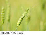 Зеленый колосок пшеницы. Стоковое фото, фотограф Иван Трошин / Фотобанк Лори