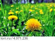 Желтые одуванчики среди зеленой травы. Стоковое фото, фотограф Иван Трошин / Фотобанк Лори