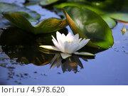Белая водяная лилия. Стоковое фото, фотограф Юлия Соловьёва / Фотобанк Лори