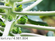 Купить «Брюссельская капуста на грядке», фото № 4981804, снято 18 августа 2013 г. (c) Дудакова / Фотобанк Лори