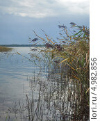 Купить «Тростник на прибрежном участке озера», фото № 4982856, снято 11 августа 2013 г. (c) Самойлова Екатерина / Фотобанк Лори