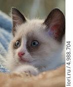 Купить «Котенок породы сноу-шу, возраст 2 месяца», фото № 4988704, снято 25 августа 2013 г. (c) Елена Васильева / Фотобанк Лори