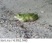 Лягушка на песчаном речном пляже. Стоковое фото, фотограф Александр Заболотный / Фотобанк Лори