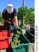 Купить «Сборщицы белого винограда Pinot Blanc (Пино Блан), на плантации Абрау Дюрсо, Новороссийск», фото № 4992956, снято 26 августа 2013 г. (c) Игорь Архипов / Фотобанк Лори