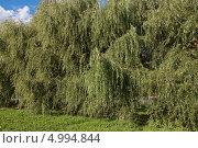 Купить «Ива белая (Salix alba)», эксклюзивное фото № 4994844, снято 16 августа 2013 г. (c) Алёшина Оксана / Фотобанк Лори