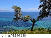 Олива, смотрящаяся в море. Стоковое фото, фотограф Маклакова Мария / Фотобанк Лори