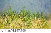 Молодые сосны на поляне. Стоковое видео, видеограф Евгений / Фотобанк Лори