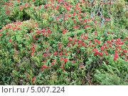 Спелая волчья ягода. Стоковое фото, фотограф Андрей Голяк / Фотобанк Лори