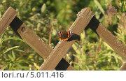 Купить «Бабочка адмирал (Vanessa atalanta) на деревянном заборе», видеоролик № 5011416, снято 2 сентября 2013 г. (c) Андрей Некрасов / Фотобанк Лори