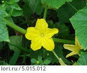 Купить «Желтый цветок огурца», фото № 5015012, снято 12 июля 2011 г. (c) Гнездилова Кристина / Фотобанк Лори