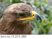 Голова орла. Стоковое фото, фотограф Евгений Волвенко / Фотобанк Лори