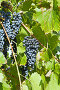 Кисти темного винограда на фоне зеленых виноградных листьев, фото № 5021168, снято 30 августа 2013 г. (c) Nikolay Sukhorukov / Фотобанк Лори