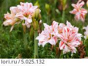 Купить «Бело-розовые цветы амариллиса в саду», фото № 5025132, снято 24 июня 2013 г. (c) Яков Филимонов / Фотобанк Лори