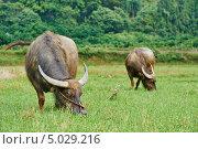 Купить «Китайские буйволы пасутся на лугу», фото № 5029216, снято 28 апреля 2013 г. (c) Дмитрий Калиновский / Фотобанк Лори