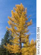 Купить «Золотая осень. Лиственница на фоне синего неба», фото № 5035984, снято 20 сентября 2009 г. (c) Argument / Фотобанк Лори