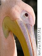 Портрет пеликана крупно в профиль. Стоковое фото, фотограф Юрий Игнатьев / Фотобанк Лори