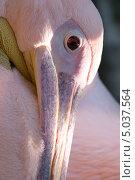 Портрет пеликана крупно. Стоковое фото, фотограф Юрий Игнатьев / Фотобанк Лори