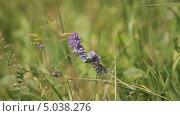 Купить «Фиолетовая бабочка на полевом цветке», видеоролик № 5038276, снято 24 июня 2013 г. (c) Юрий Александрович Балдин / Фотобанк Лори