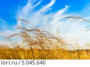 Купить «Ковыль и синее небо с облаками.Степь», эксклюзивное фото № 5045640, снято 6 сентября 2013 г. (c) Евгений Мухортов / Фотобанк Лори