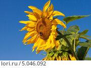 Купить «Подсолнух (Helianthus annuus)», эксклюзивное фото № 5046092, снято 9 августа 2013 г. (c) Lora / Фотобанк Лори
