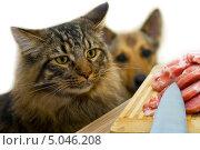 Кот, собака и мясо. Стоковое фото, фотограф юлия юрочка / Фотобанк Лори