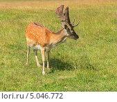 Купить «Самец пятнистого оленя (лат. Cervus nippon)», фото № 5046772, снято 24 июля 2013 г. (c) Валерия Попова / Фотобанк Лори