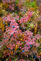 Кустики голубики, фото № 5050676, снято 12 сентября 2013 г. (c) Владимир Мельников / Фотобанк Лори